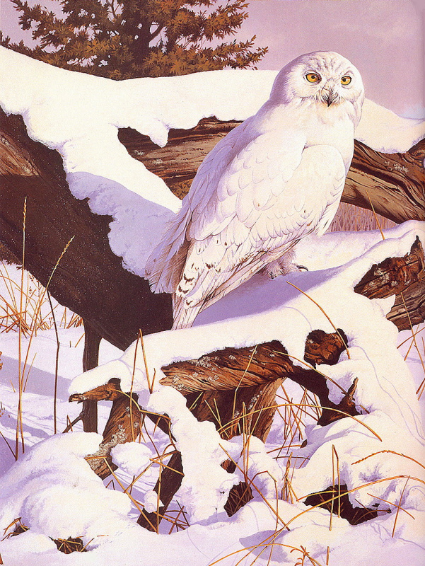 Род Лоеренс. Белая сова