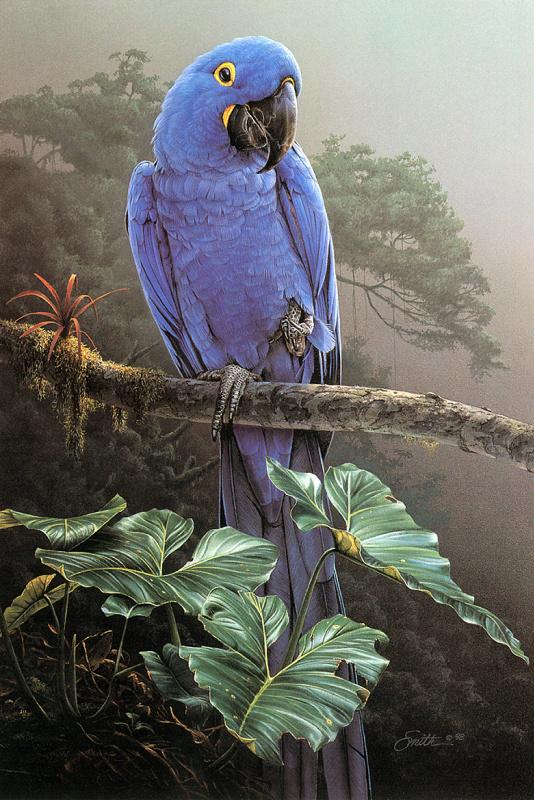 Даниэль Смит. Гиацинтовый ара