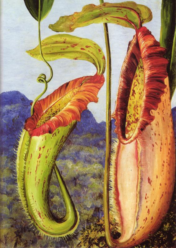 Марианна Норт. Цветок тропического кувшинчикового Непентес Нортиания (известняковые горы Саравак, Борнео)