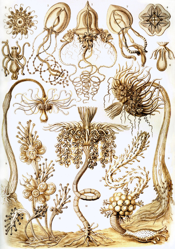"Ernst Heinrich Haeckel. Antomedusa, tubularia. ""The beauty of form in nature"""