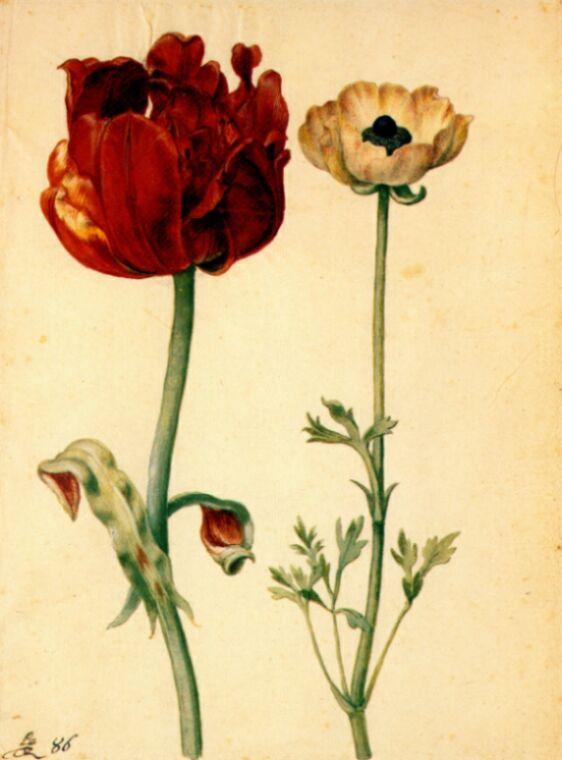 Георг Флегель. Тюльпан и белый мак