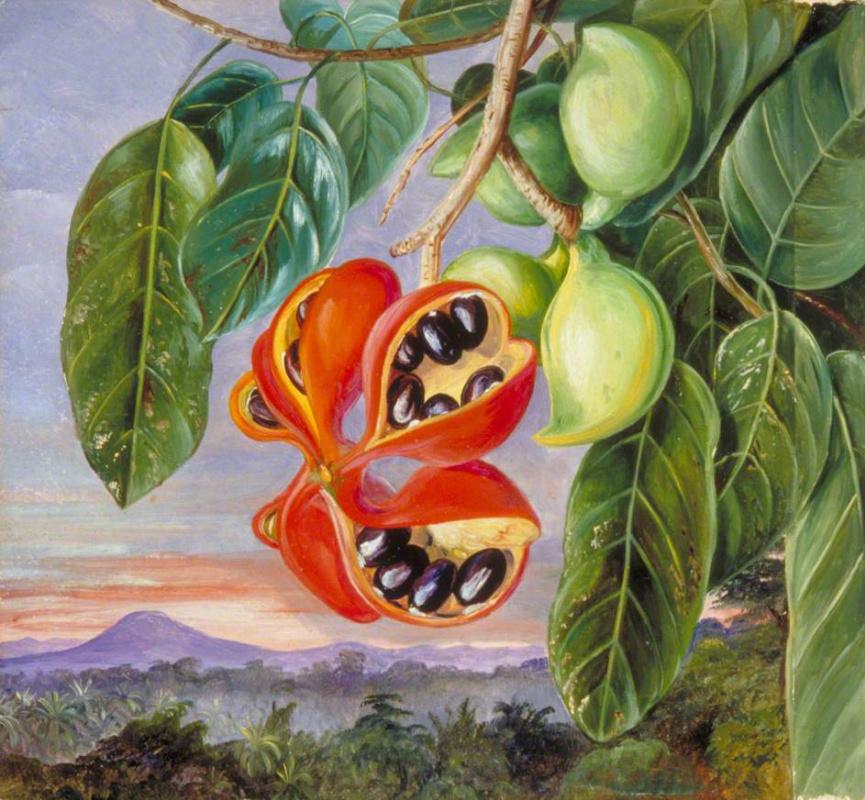 Марианна Норт. Листья и плоды стеркулии малоцветковой (Sterculia parviflora)
