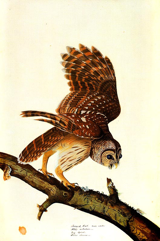 John James Audubon. Owl