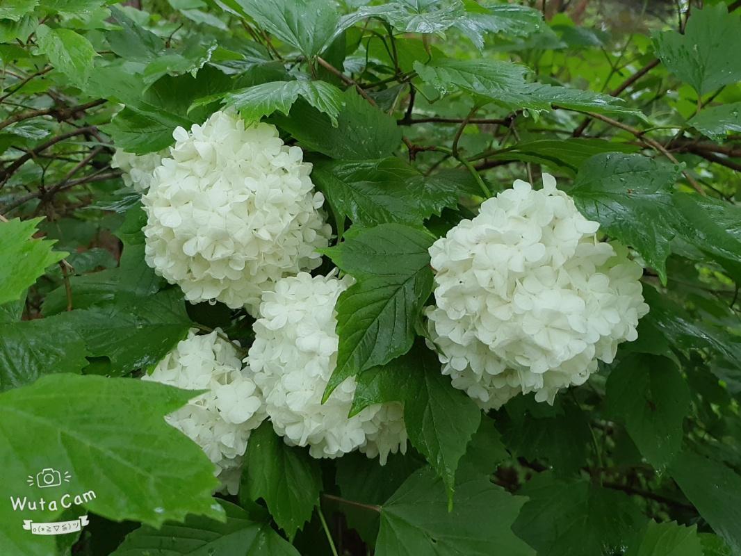 David Alexander Vincent. White Flowers