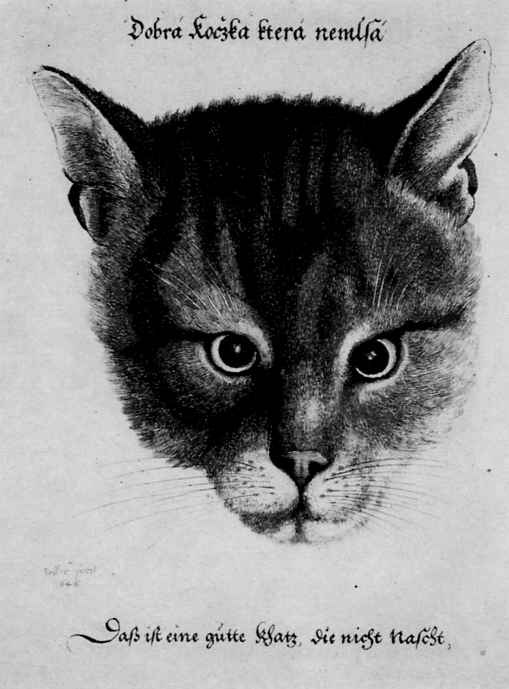 Венцель Холлар. Голова кота