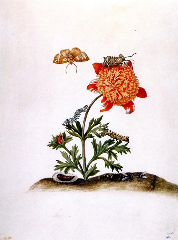 Мария Сибилла Мериан. Мохровый корончатый анемон и коричневая совка. Таити