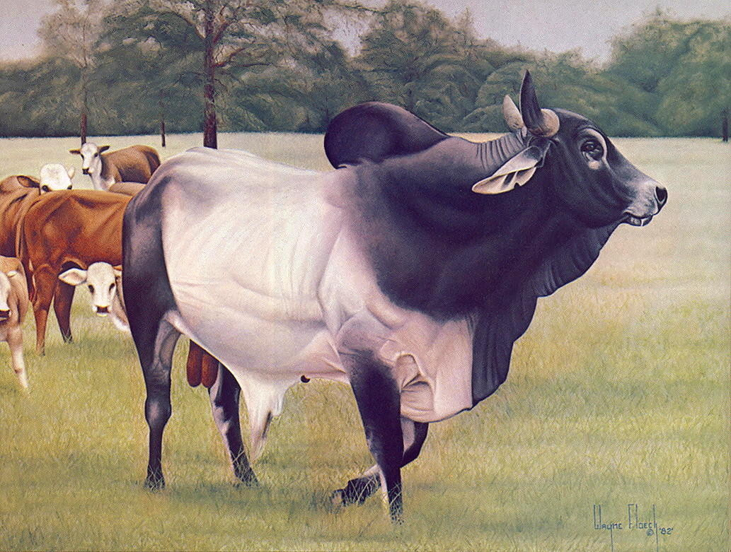 Уэйн Флоекк. Большая корова