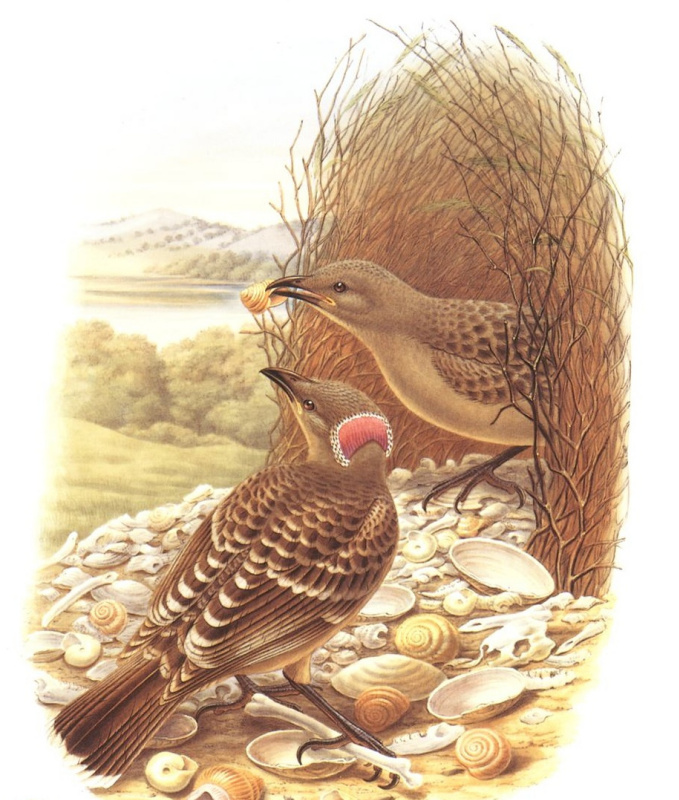 Джон Гулд. Большая беседковая птица