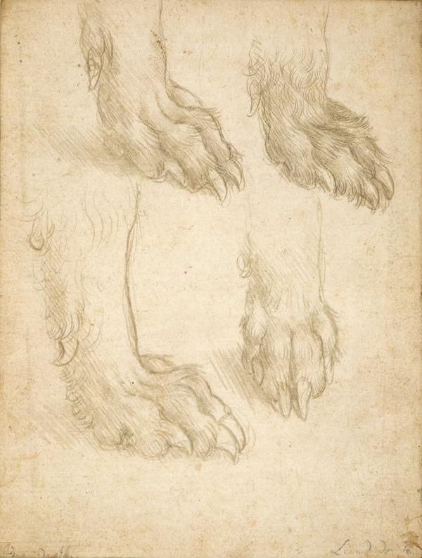 Леонардо да Винчи. Этюд собачьих лап