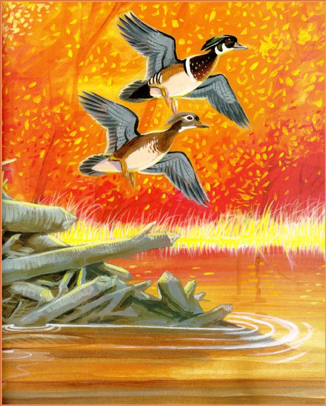 Джим Арноски. Древесные утки