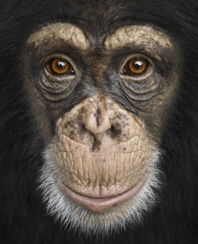 Brad Wilson. Chimpanzee #4