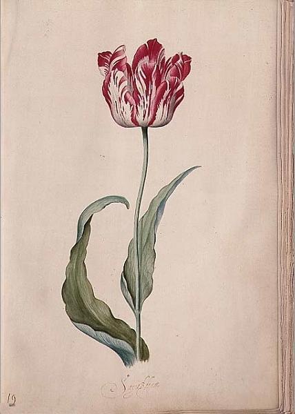 Judith Leyster. Tulip I
