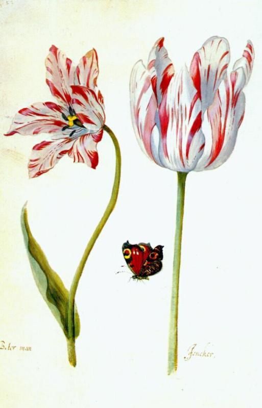 Якоб Маррел. Изучение тюльпанов