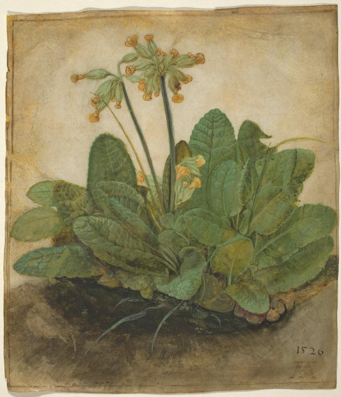 Albrecht Dürer. Primula