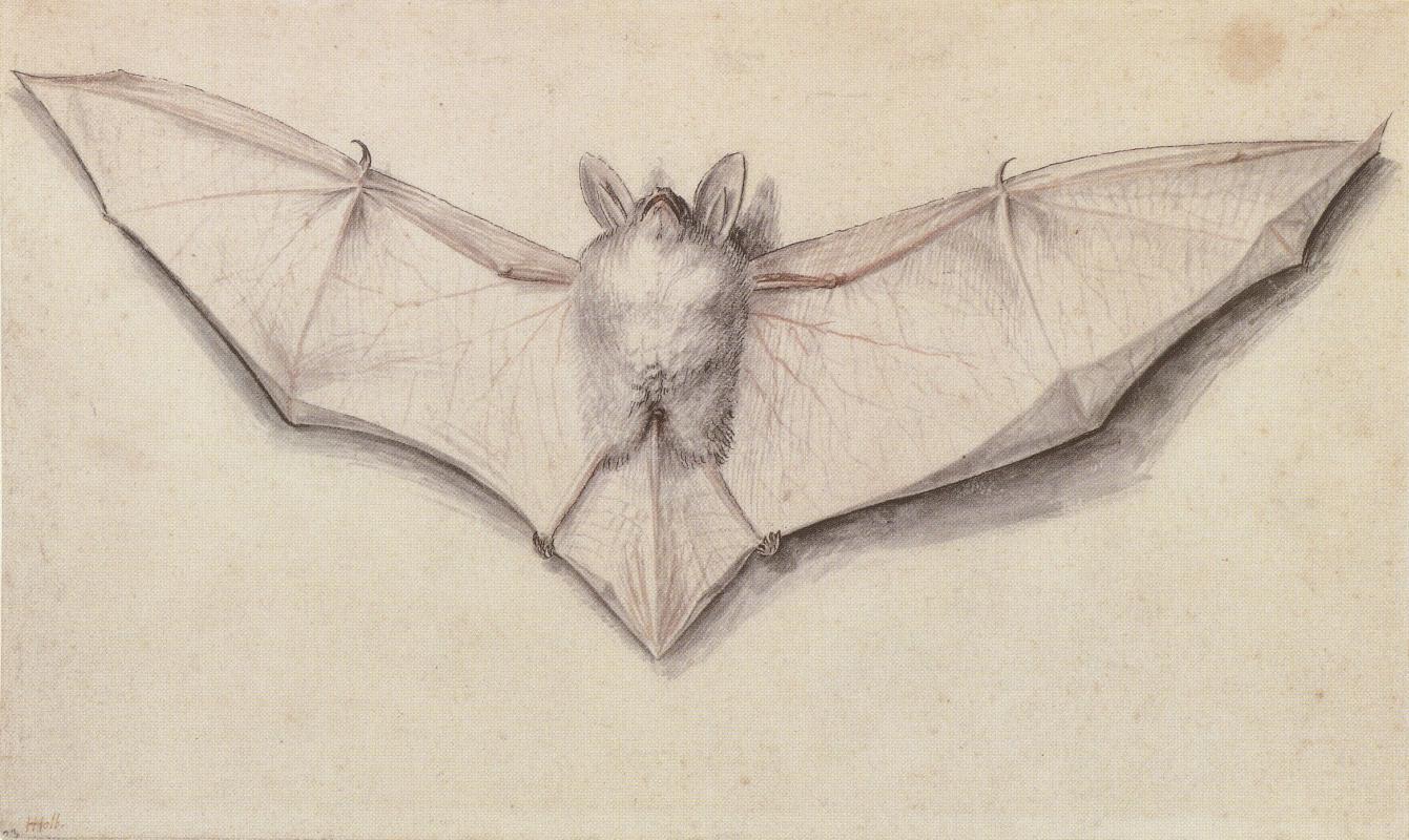 Ганс Гольбейн Младший. Изучение летучей мыши с распростертыми крыльями