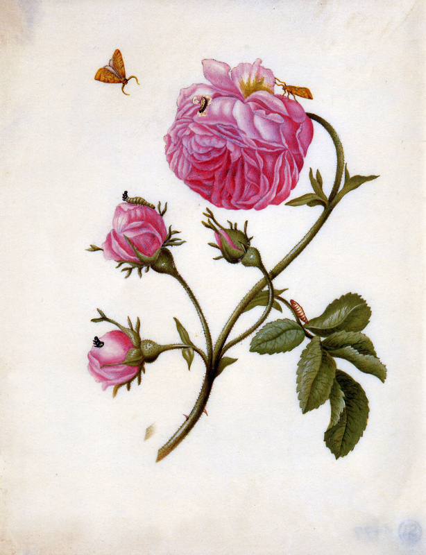 Maria Sibylla Merian. Roses with butterflies