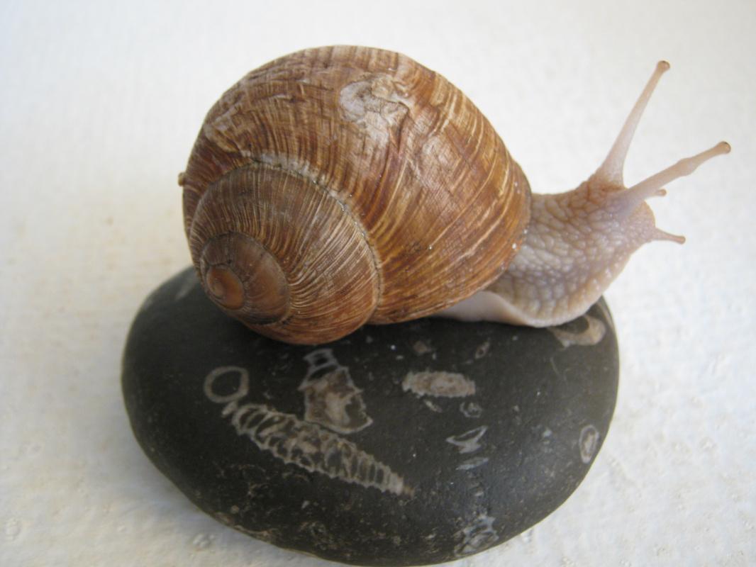 "Алексей Гришанков (Alegri). ""Snail on the pebbles"""