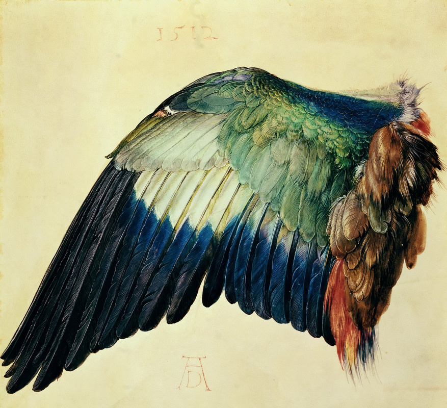 Albrecht Dürer. Left Wing of a Blue Roller