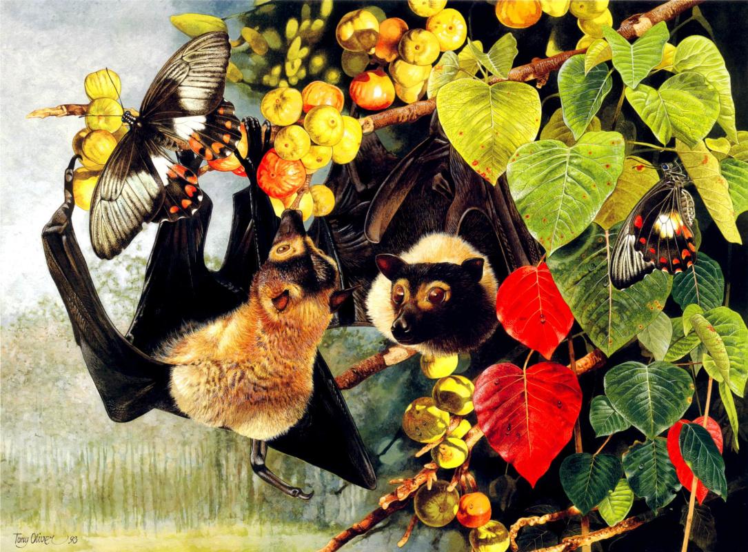 Тони Оливер. Очковая летучая лисица