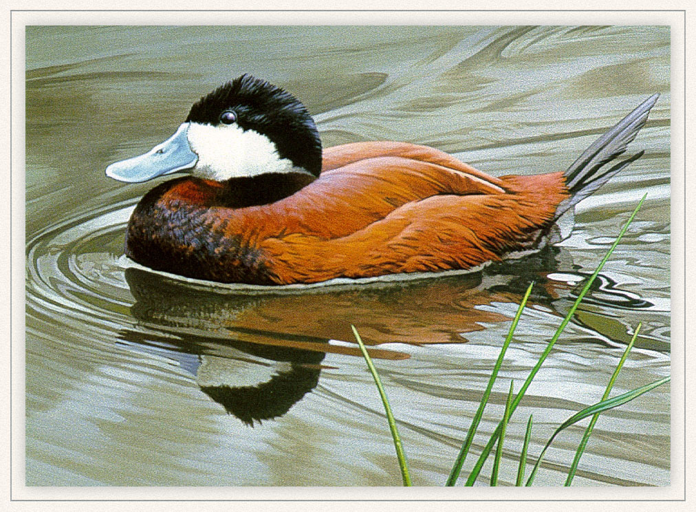 Rod Lawrence. The American white-headed duck