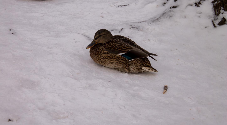 Maxim Alexandrovich Oborin. Duck in the winter park