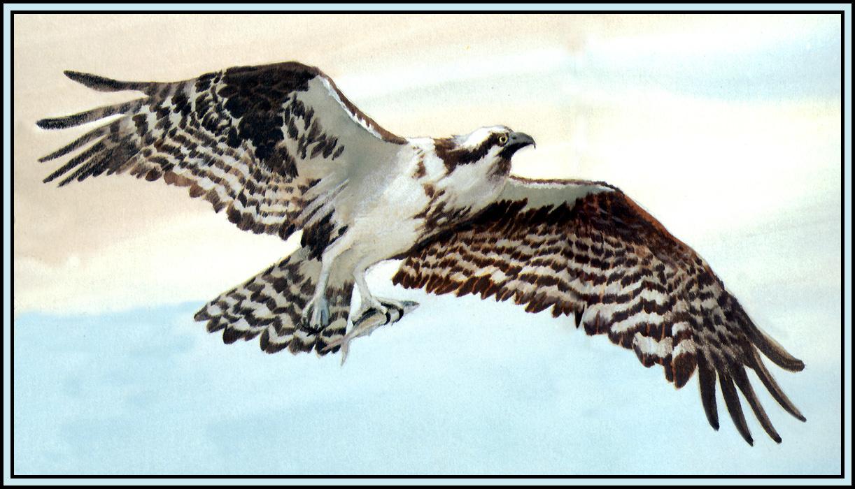 Roger Bansemer. Osprey