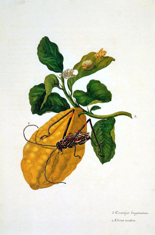 Мария Сибилла Мериан. Цитрон с гусеницей-обезьяной и длинноногим арлекином