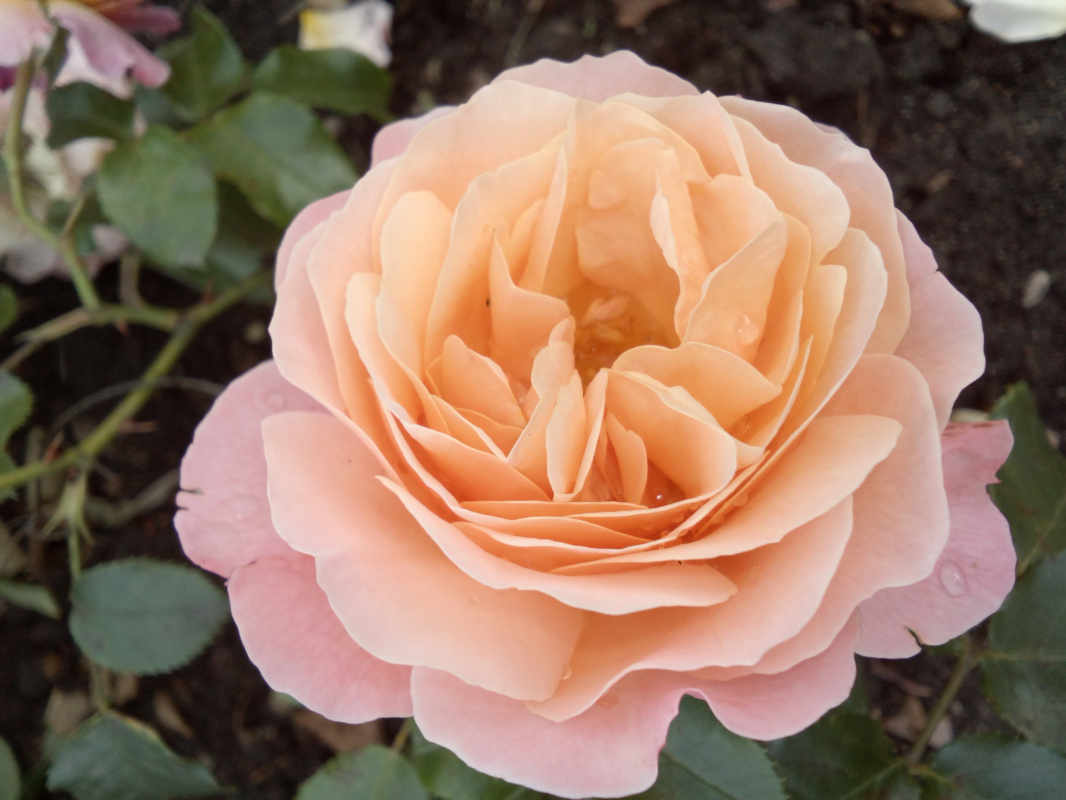 "Алексей Гришанков (Alegri). ""St. Petersburg Flowers. Queen of the Autumn Ball"""