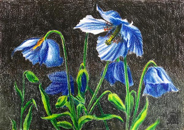 Larissa Lukaneva. Blue poppies. Sketch.