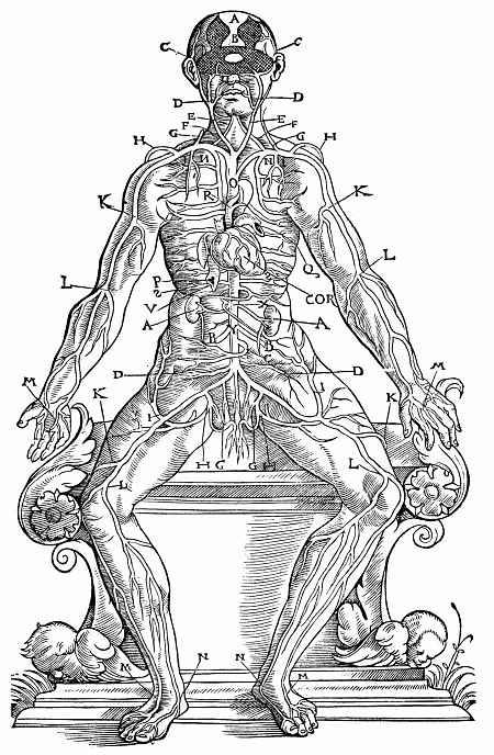 Ханс Бальдунг. Расположение аорты и кровеносных сосудов