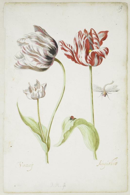 Якоб Маррел. Два тюльпана с насекомыми