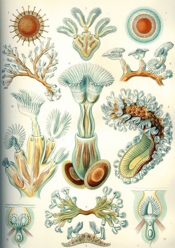 "Ernst Heinrich Haeckel. Mshanki ""The beauty of form in nature"""