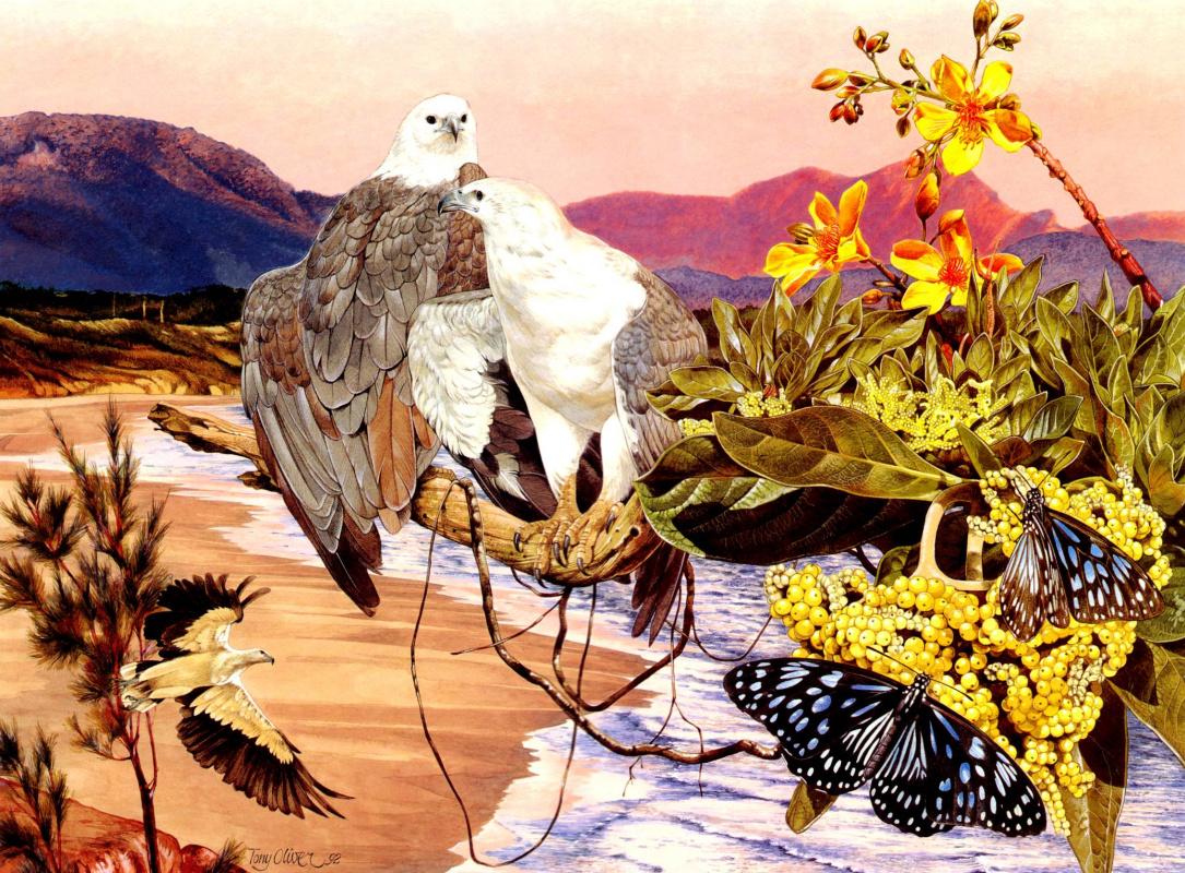 Toni Oliver. White-bellied sea eagle