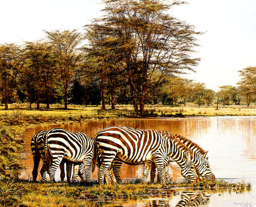 Simon Comb. Zebras at the watering