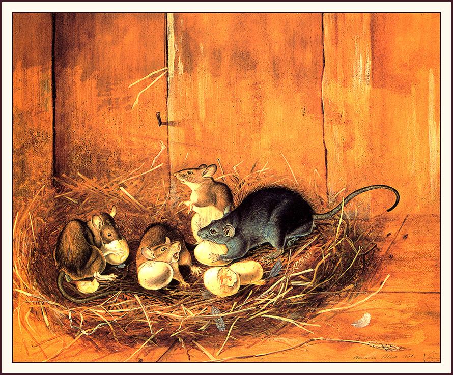 Джон Джеймс Одюбон. Черные крысы