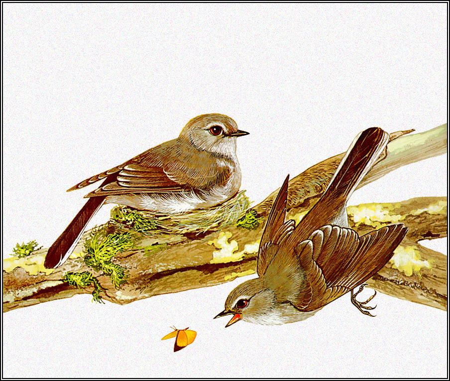 Toni Oliver. Brown Flycatcher
