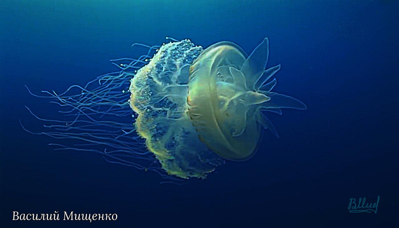 Vasiliy Mishchenko. Royal jellyfish