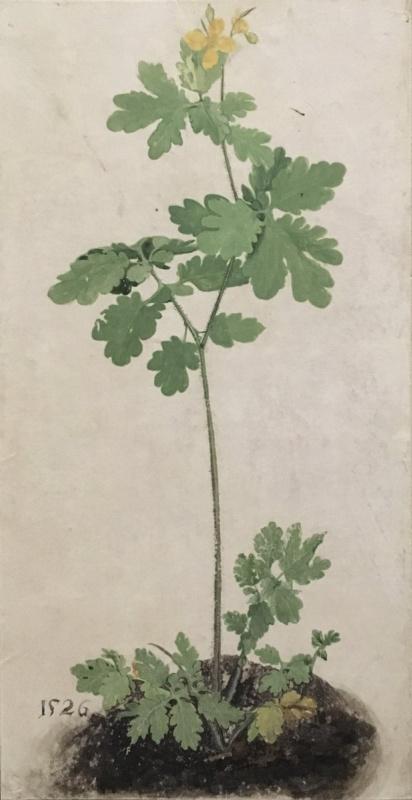 Albrecht Dürer. Celandine