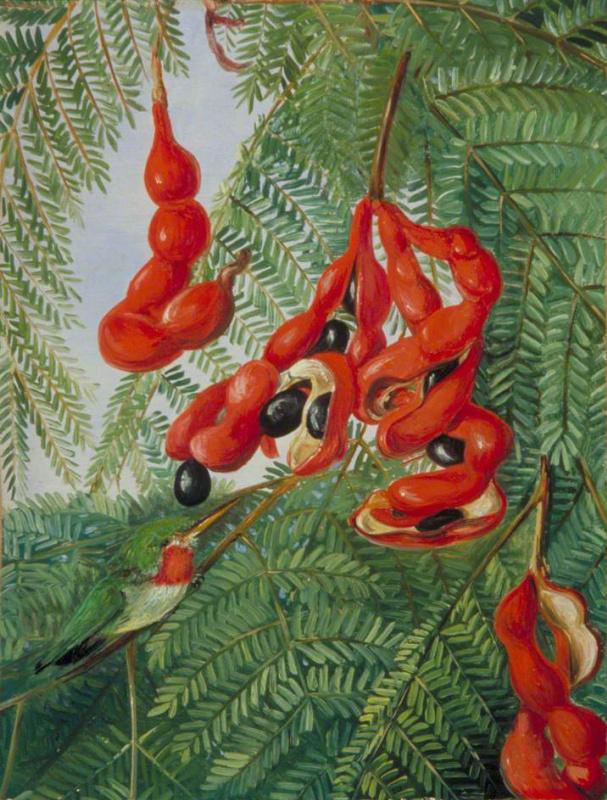 Марианна Норт. Плоды дикого тамаринда и красногрудый барбет, Ямайка