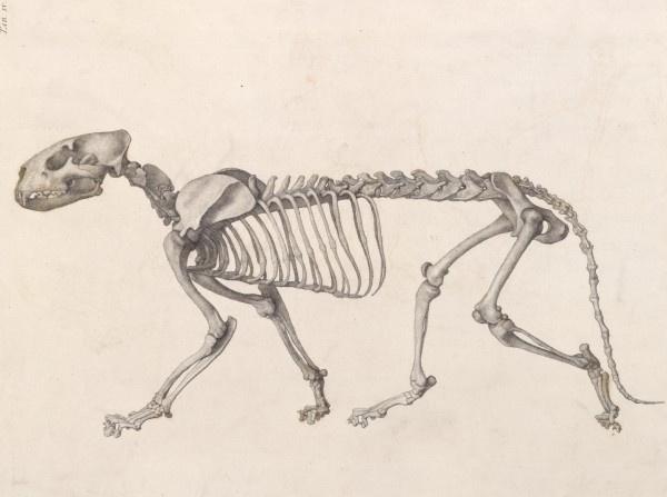 George Stubbs. Skeleton tiger
