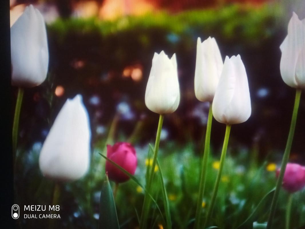 Anastasia Zamurueva. White tulips