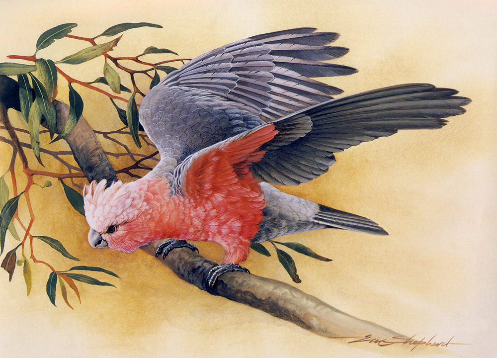 Eric Shepherd. Pink cockatoo