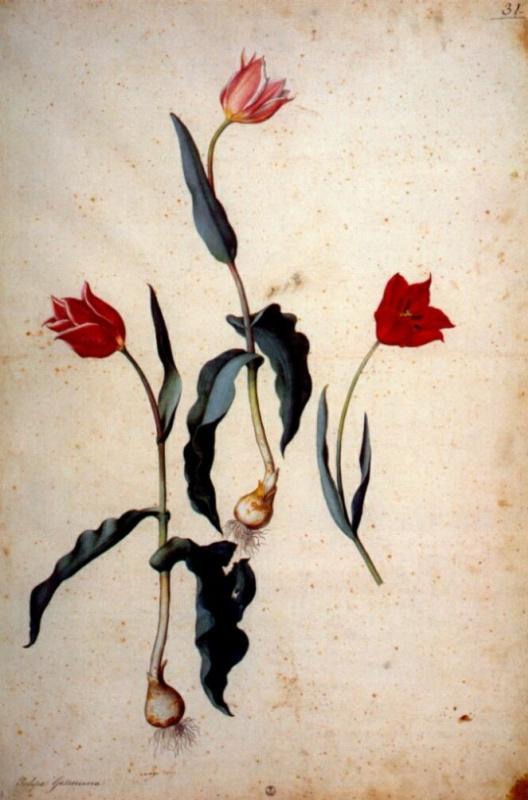 Якопо Лигоззи. Красные тюльпаны