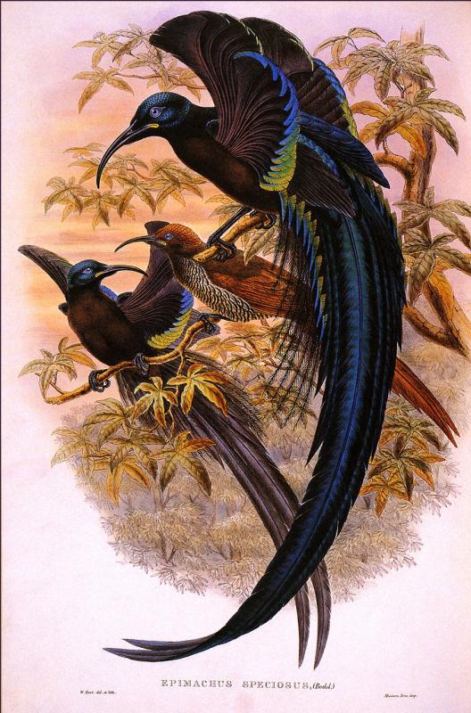 Уильям Харт. Райская птица