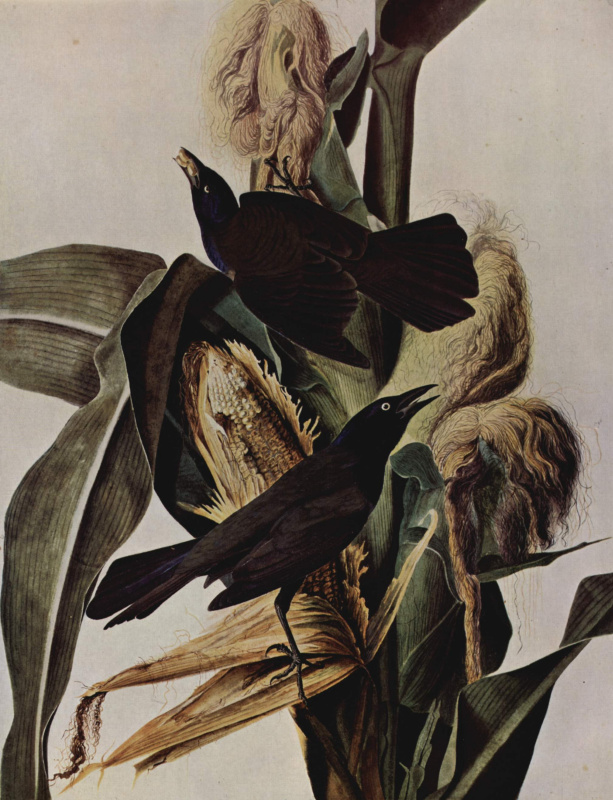 Кукуруза и вороны