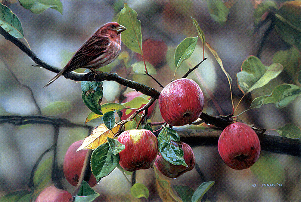 Terry Isaac. Purple Finch