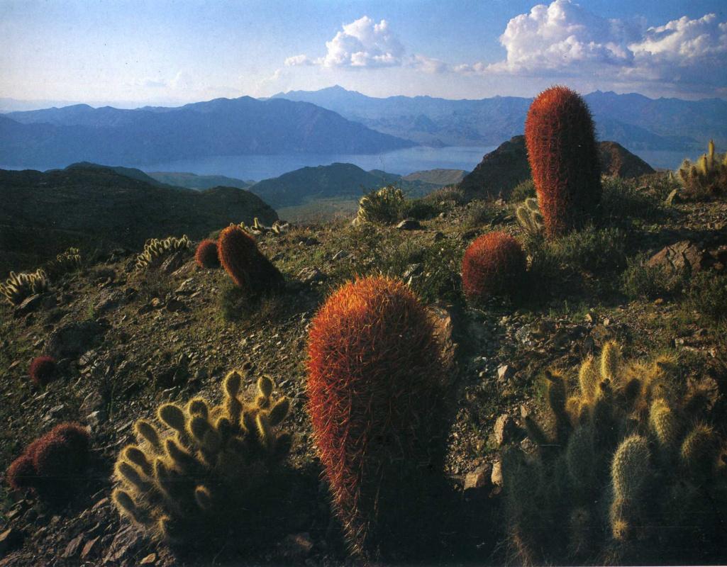 David Munich. Cacti