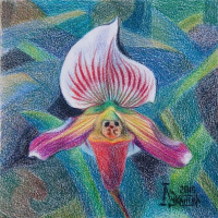 The Lady's Slipper 6