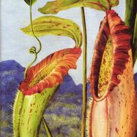 Цветок тропического кувшинчикового Непентес Нортиания (известняковые горы Саравак, Борнео)