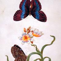 Мария Сибилла Мериан. Травяной ирис с экзотической бабочкой